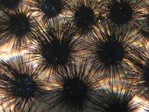 Kolonia dłudzy denni czesacy przy rafą koralowa Obraz Royalty Free