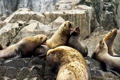 Kolonia denni lwy Otariinae na skale, Rosja, Kamchatka, niedaleki przylądek Kekurny, rosjanin zatoka obraz stock