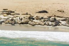 Kolonia foka lwy Zdjęcia Stock