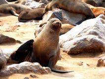 Kolonia foki na przylądka krzyżu Obrazy Royalty Free