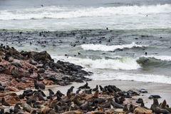 Kolonia futerkowe foki w Namibia zdjęcie royalty free