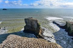 Kolonia gannets przy Muriwai plażą Zdjęcie Stock