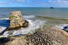 Kolonia gannets przy Muriwai plażą Zdjęcia Stock