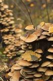 Kolonia grzyby na przegniłym drzewnym fiszorku z spadać liśćmi obraz royalty free