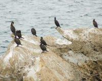 Kolonia kormorany w skale na Baleal wiosce, Peniche, Leiria okręg, Portugalia (Galhetas w popularnym portugalczyku) Zoologic Fotografia Stock