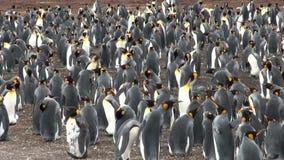 Kolonia królewiątko pingwiny zbiory wideo