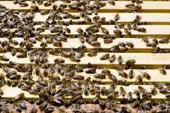 Kolonia Miodowe pszczoły zdjęcie stock