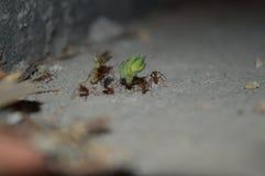Kolonia mrówki zbiera liście Fotografia Royalty Free