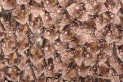 Kolonia podkowa nietoperze Wielki podkowa nietoperza Rhinolophus ferrumequinum w jamie Fotografia Stock