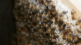 Kolonia pszczo?y pracuje w roju zbiory wideo