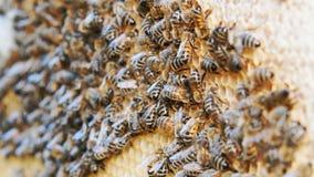 Kolonia pszczo?y pracuje w roju zbiory