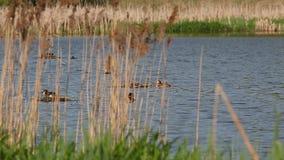 Kolonia ptaka Wielki czubaty perkoz gnieździł się wśród płoch (Podiceps cristatus) zbiory wideo