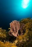 Kolonialna gąbka w Czerwonym morzu. (siphonochalina siphonella) Obrazy Stock