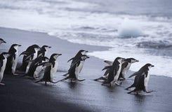 Kolonie Chinstrap-Pinguine (Pygoscelis antarcticus), die in Meer geht stockbilder