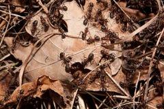 Kolonie der Ameisen Lizenzfreies Stockbild