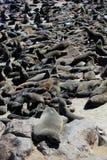 Kolonie der Dichtungen am Umhang-Kreuz-Vorbehalt, Namibia Lizenzfreie Stockfotos