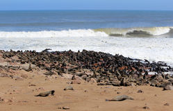 Kolonie der Dichtungen am Umhang-Kreuz-Vorbehalt, Namibia Lizenzfreies Stockfoto