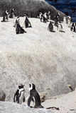 Kolonie der gefährdeten Umhang-Pinguine Stockbild