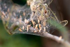 Kolonie der Mottenlarvennahaufnahme im Netz auf den Niederlassungen eines Baums Mottenlarven, Gleiskettenfahrzeuge, a?en alle Bl? stockfoto