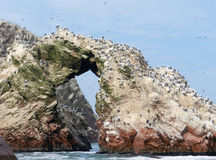 Kolonie des atlantischen Papageientauchers in Peru Stockbilder