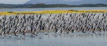 Kolonie des Königkormorane Spürhund-Kanals, Patagonia stockfoto