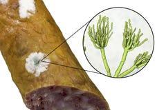 Kolonie des Penezilinpilzes auf der Wurstoberfläche lizenzfreie abbildung