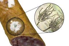 Kolonie des Penezilinpilzes auf der Wurstoberfl?che lizenzfreie abbildung