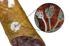 Kolonie des Penezilinpilzes auf der Wurstoberfl?che vektor abbildung