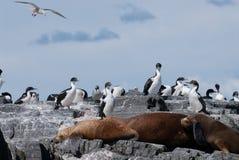 Kolonie des südamerikanisches Seelöwes und der Kormorane Lizenzfreie Stockfotos