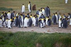 Kolonie Königs Penguin an Inutil-Bucht in Tierra del Fuego, Chile stockfoto