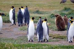 Kolonie Königs Penguin an Inutil-Bucht in Tierra del Fuego, Chile lizenzfreies stockbild