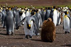 Kolonie Königs Penguin mit Küken Stockfotos