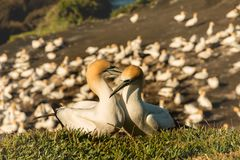 Kolonie Muriwai Gannet, regionaler Park Muriwai, nahe Auckland, Nordinsel, Neuseeland lizenzfreies stockfoto