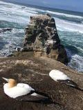 Kolonie Neuseeland Muriwai Gannet stockfoto