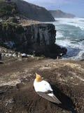 Kolonie Neuseeland Muriwai Gannet stockfotos