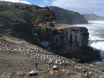 Kolonie Neuseeland Muriwai Gannet lizenzfreie stockfotografie