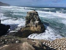 Kolonie Neuseeland Muriwai Gannet lizenzfreie stockbilder