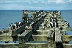 Kolonie van aalscholvers stock foto
