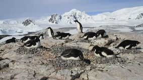 kolonie van Adеlie-pinguïnen op een klein eiland stock video