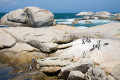 Kolonie van Afrikaanse pinguïnen Royalty-vrije Stock Afbeelding