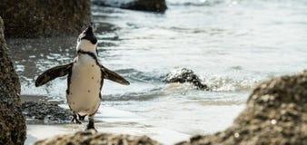 Kolonie van Afrikaanse Pinguïnen lat Spheniscus Demersus bij Kei Stock Afbeeldingen