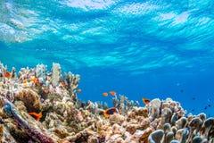 Kolonie van Anemonefish stock foto