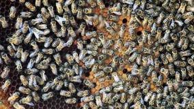 Kolonie van Bijen op Honingraat stock videobeelden