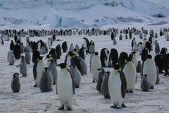 Kolonie van de pinguïnen van de Keizer stock afbeeldingen