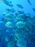 Kolonie van de vissen van de Knuppel Royalty-vrije Stock Afbeeldingen