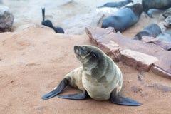 Kolonie van Eared Bruine Bontverbindingen bij Kaapkruis, Namibië, Zuid-Afrika, stock fotografie