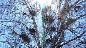 Kolonie van Europese Kauwvogels Een kolonie van kauw die hoog omhoog in naakte treetops tegen een zonnige hemel nestelen stock footage