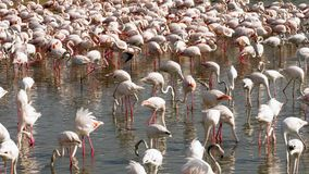 Kolonie van flamingo's op het meer stock videobeelden