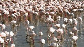 Kolonie van flamingo's op het meer stock footage