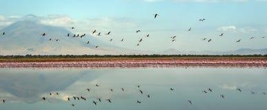 Kolonie van Flamingo's op het Natron-meer stock afbeelding